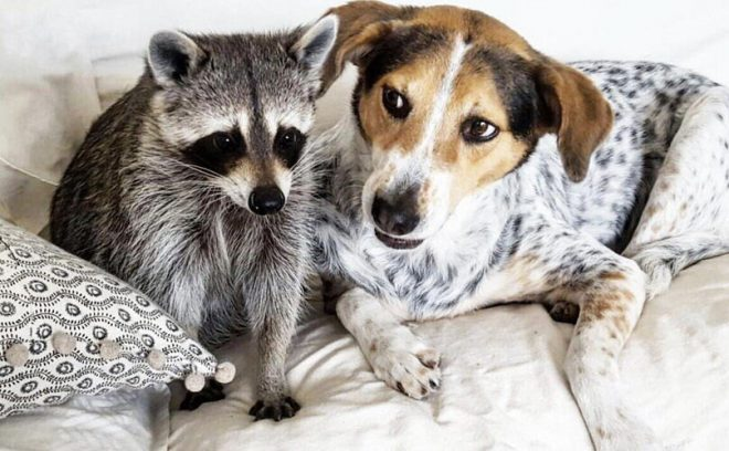 Енотов любят и люди, и кошки, и собаки