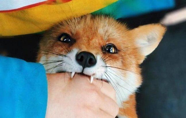Одну из первых вещей, которую должна усвоить лиса: что кусаться нельзя